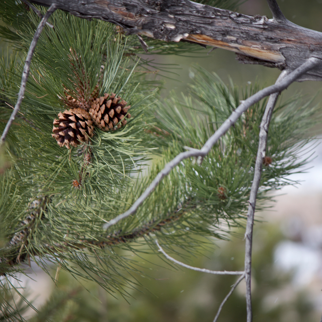 Photo of a Ponderosa Pine Tree branch