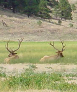 Elk in Pumphouse Meadow